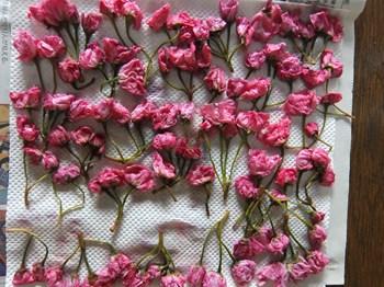 桜の花を陰干しする