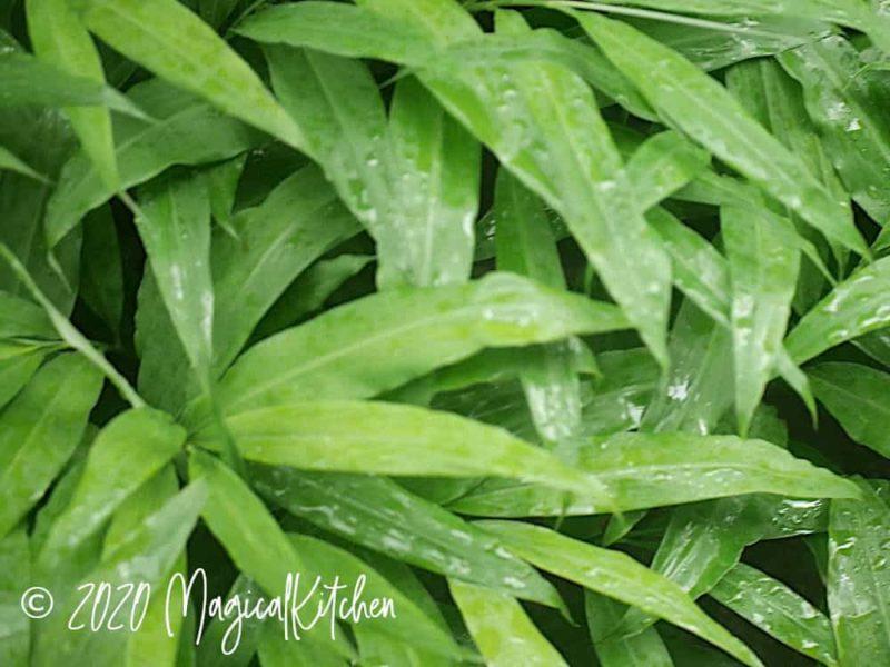 庭のミョウガの葉