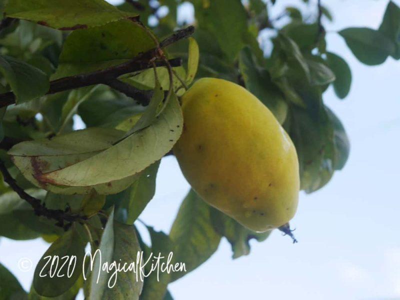木になった花梨