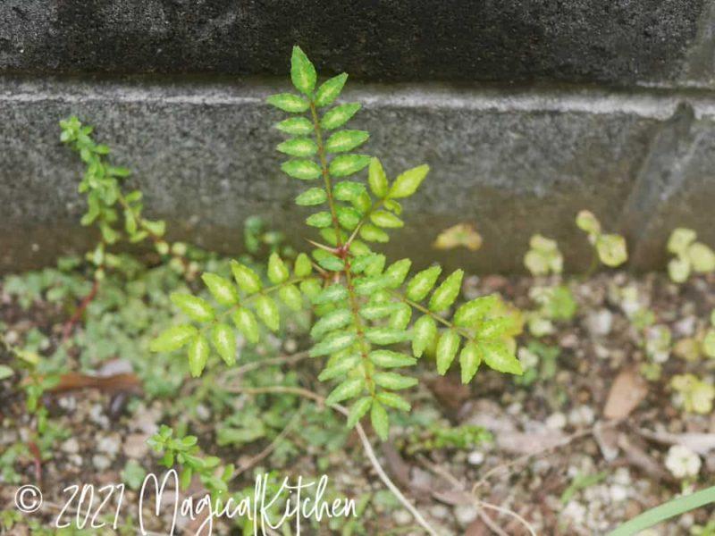 小さい山椒の芽